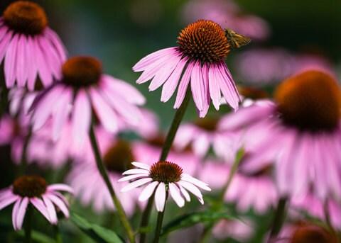Organic Echinacea or Purple Coneflower Seeds - MoonlightMicroFarm