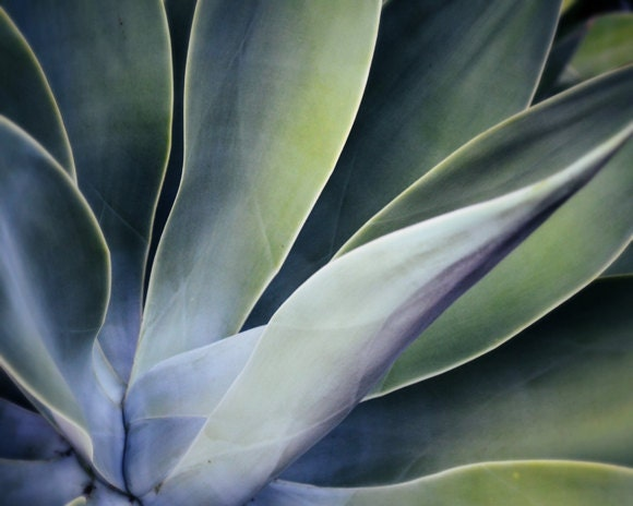 Botanical photograph - Fine Art Photography botanical art Agave plant jade green dusty blue nature photograph 8x10 - Silken - LupenGrainne