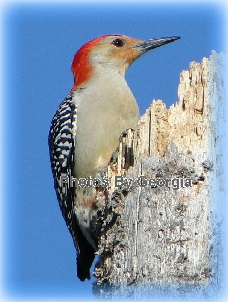 Red Bellied Woodpecker - 11x14 Print