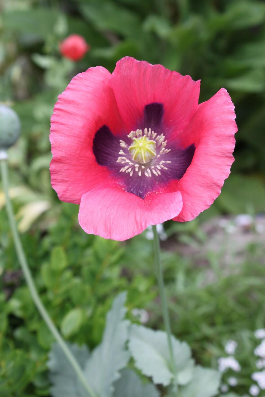 Pink Paperver Somniferum Seeds 2012