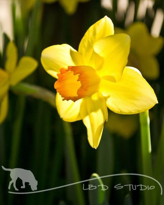 Daffodil II - High Quality Photographic Print - 8x10