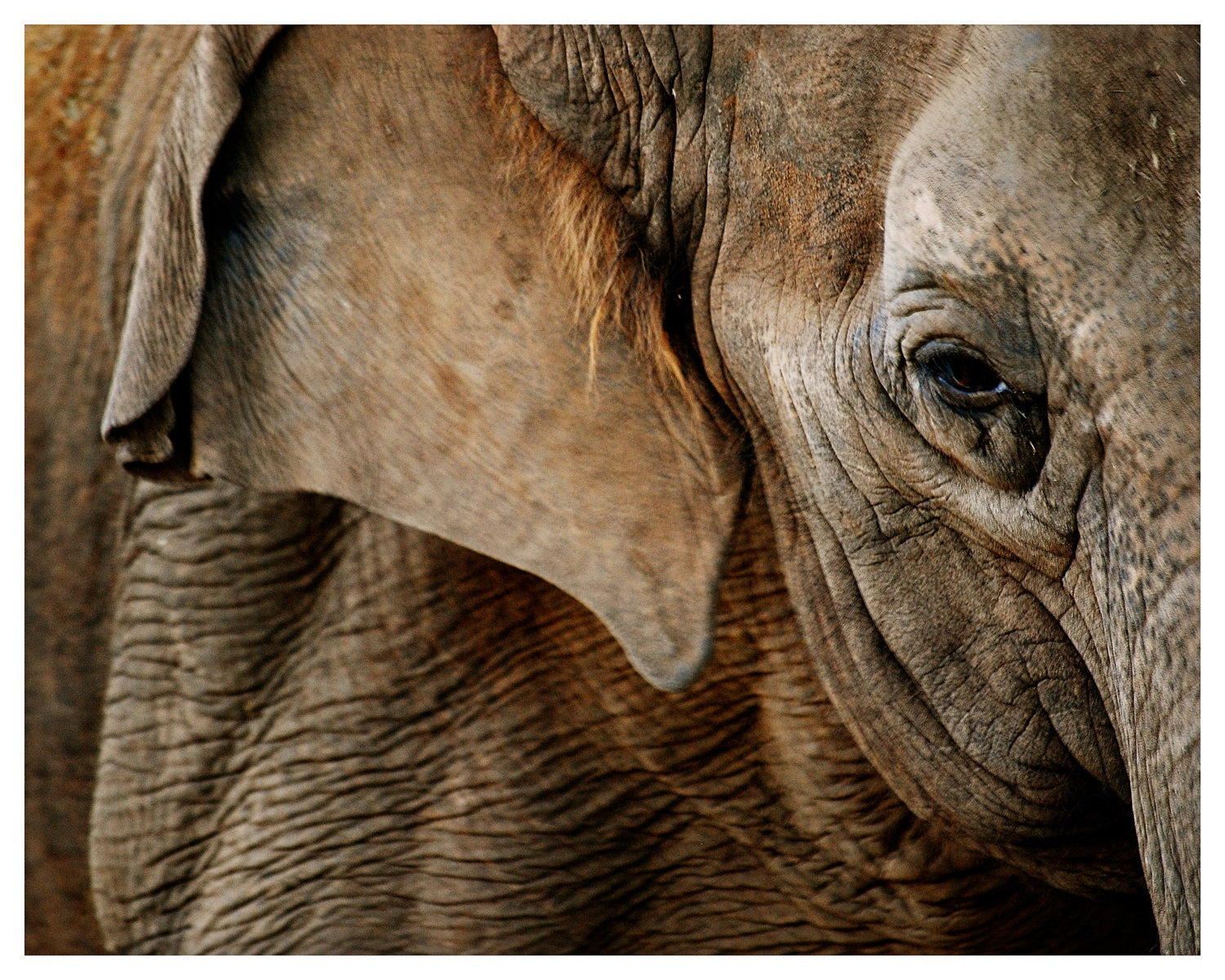 fine art image of an elephant, elephant's eye, gentle giant, image by enframe photography by rachel boyer