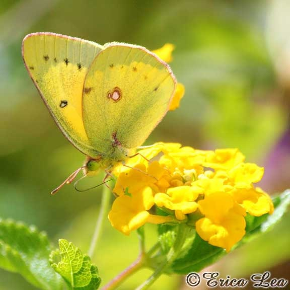 Butterfly Art Print Yellow Butterfly Photo on Flowers Sunny Home Decor Picture 8x8 - NatureVisionsToo
