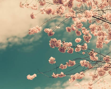 Cherry Blossom Tree Print Spring Flower Fine Art Photography Dreamy Photography Spring Photography Kitchen Decor Summer Print - ImagePoet