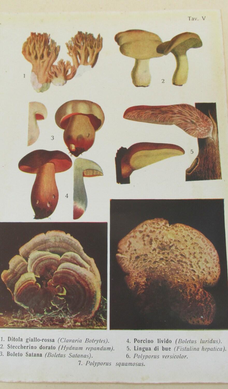 Antique 19th Century Italian Botanical Coloured Book Plate  Mushrooms Bracket Fungi  Ideal For Framing  V