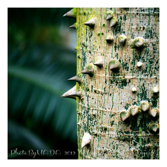 Thorny tree Botanical Photography,  Nature, Macro, Home Decor, 5 x 5 print Fine Art Photography Print, - PhotoByMADA