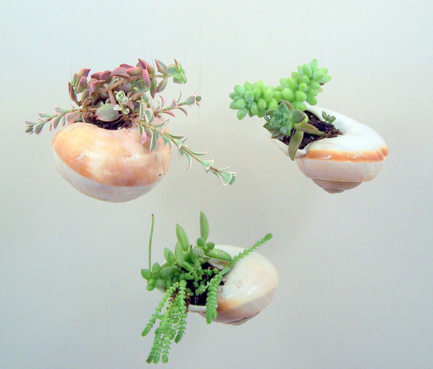 Items Similar To Hanging Shell With Succulent Plants DIY