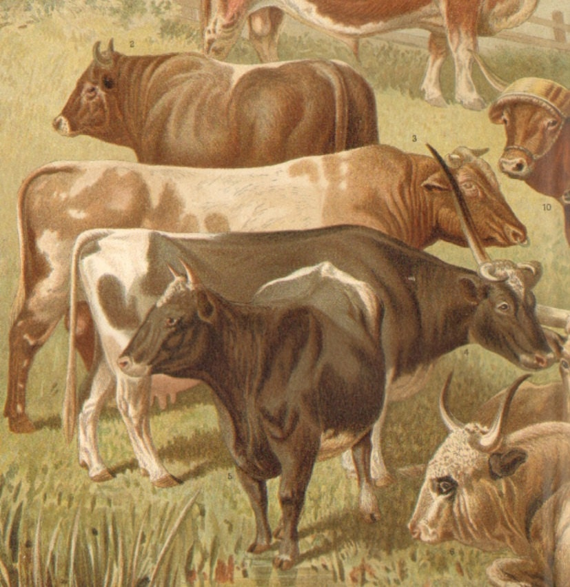1897 Cattle-Bulls, Cows, Oxen Original Antique Chromolithograph to Frame
