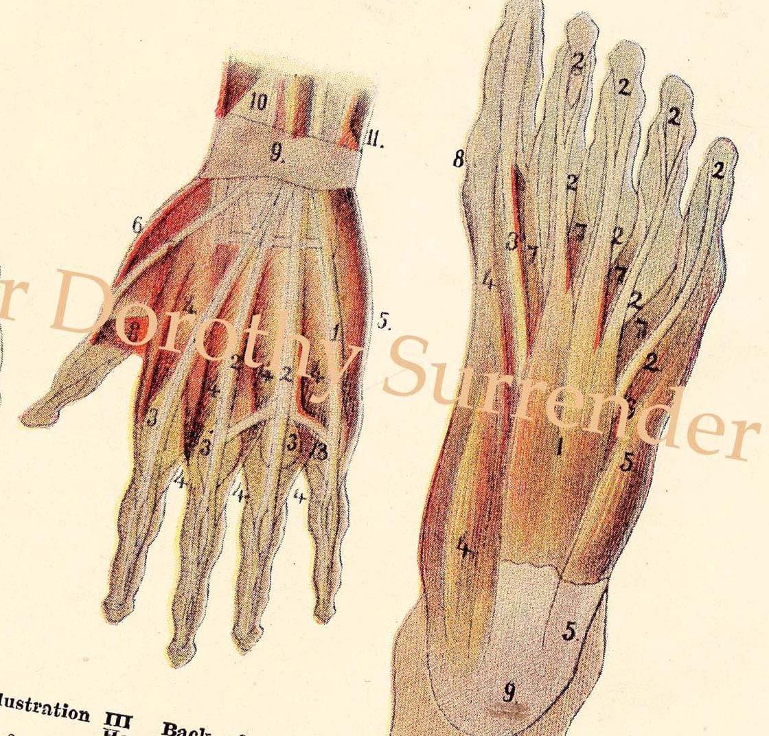 Anatomy of human foot