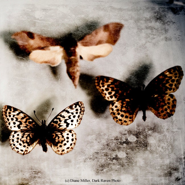 Office Decor Butterfly Photograph, Entomology Insect Still Life Photo, Surreal Photography Print, Orange Mauve Peach Black, Beige, Dads Day - DarkRavenPhoto