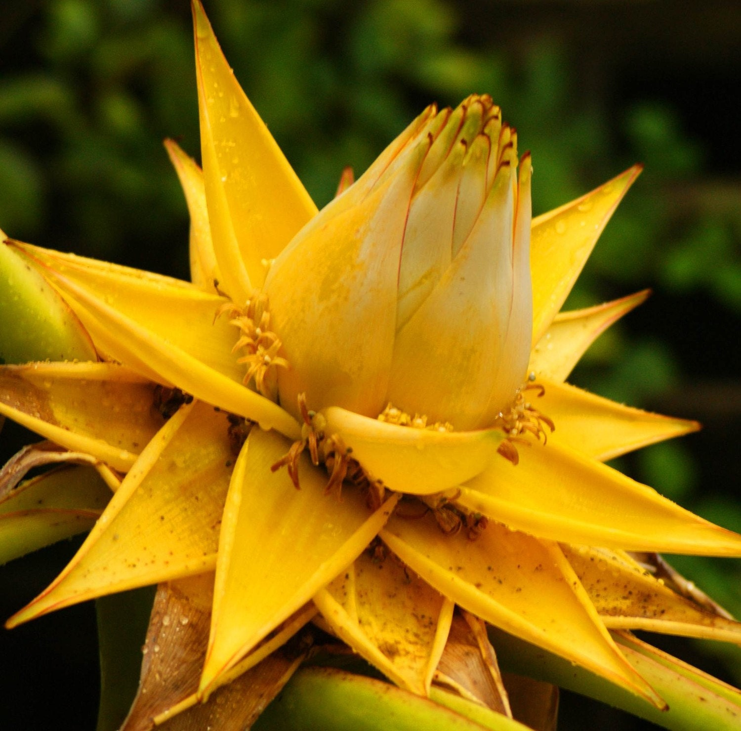Golden Lotus Flower Art Photography 8 x 10 or 8 x 12 Nature Print Yellow Green