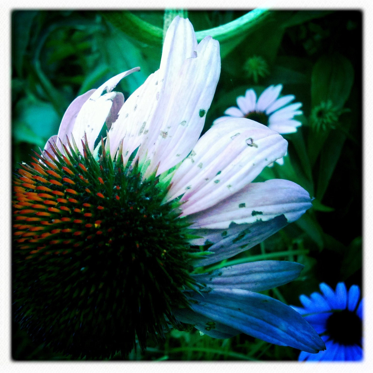 Coneflower....Hipstamatic Original Photo