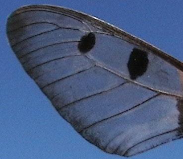 Bride of Frankenstein - Real Glasswing Butterfly & Swarovski Earrings on Sterling Silver - OOAK Wearable Art