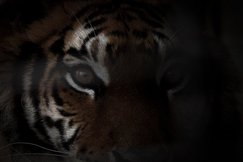 Tiger Print - Photo Art Prints - Close up - Nature Photos - Wildlife Photography  - Black and White Photo - Tiger Eye - Custom Size - WildnisPhotography