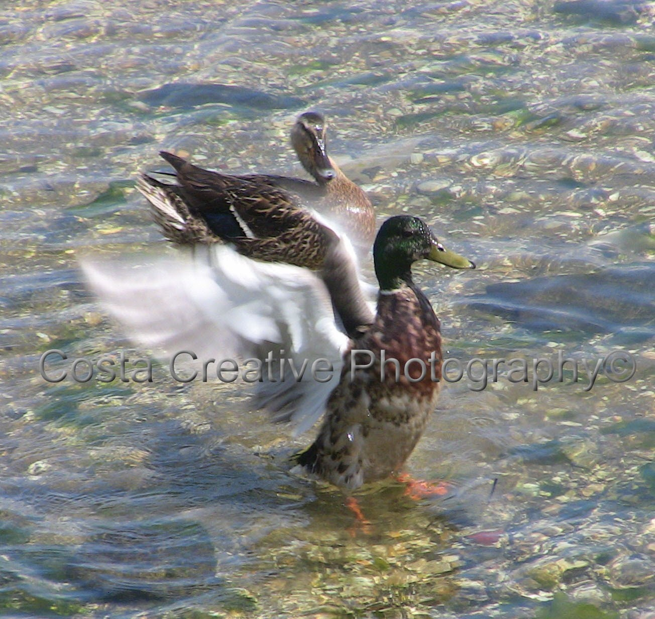 8 x 10 Fine Art Print - Duck Flapping Wings