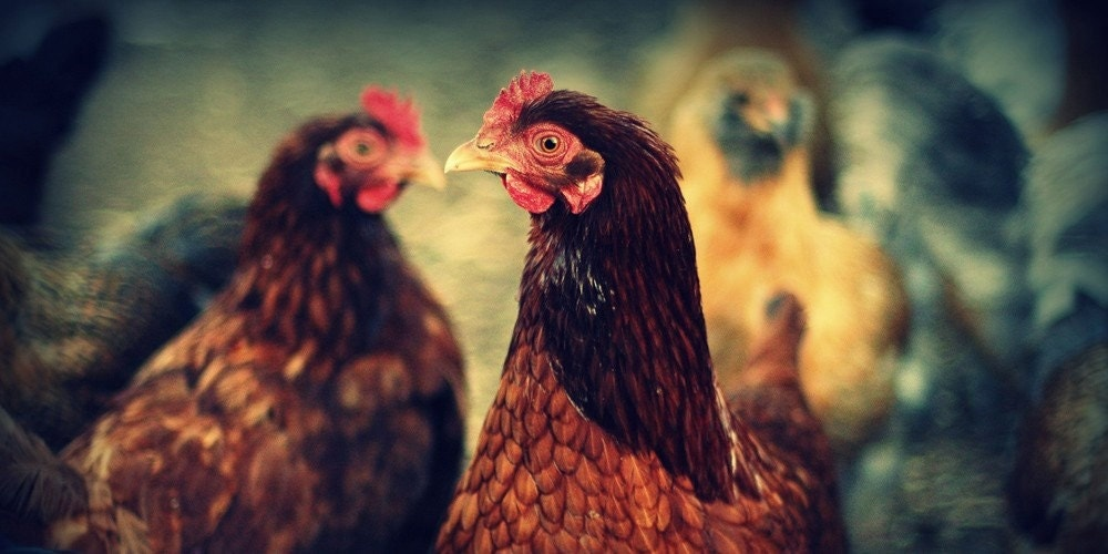 Who  Me, Chickens in the Garden, Chesapeake Bay Maryland 15x30  Fine Art  Photography Print