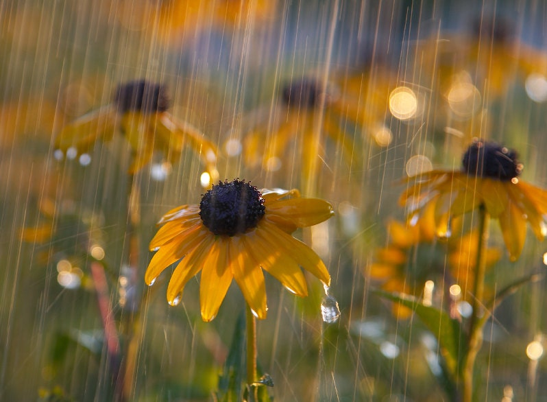 Black Eyed Susan in a Sunshower Color Photo by FirstShotPhoto # Sunshower Rain_095242