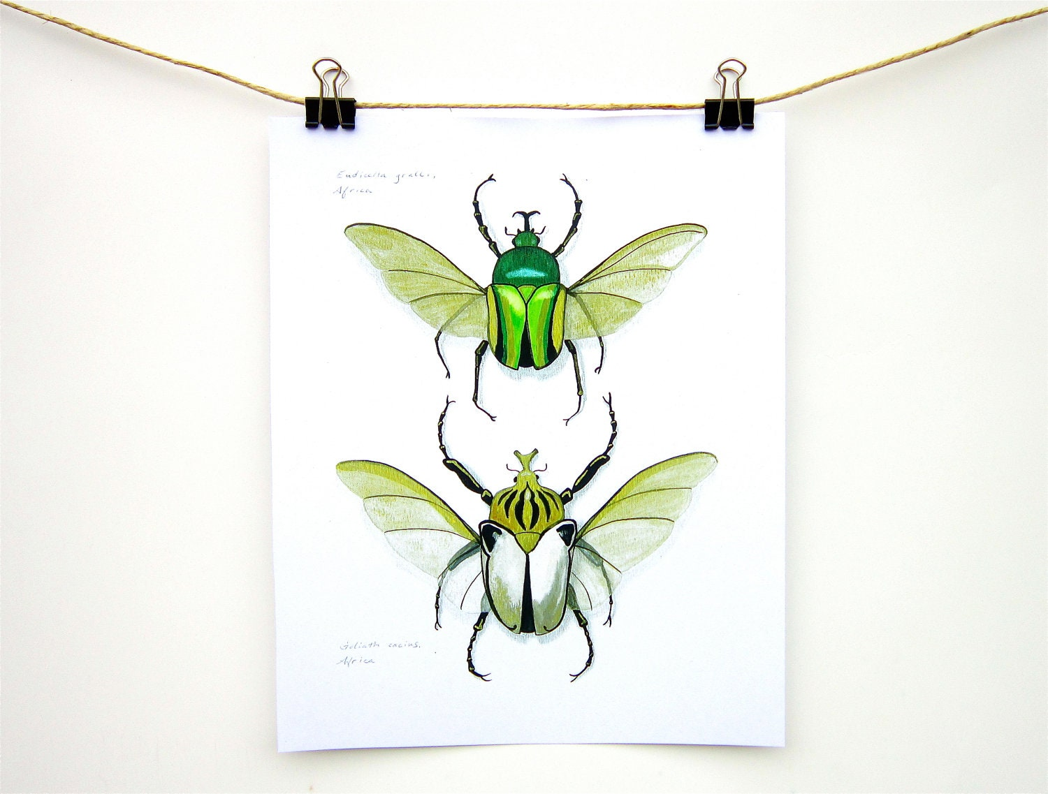 Goliath Beetles insect art print - Two life size giant beetles green gold white art - WingedWorld
