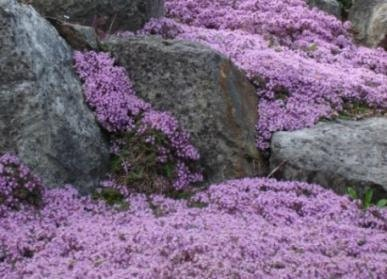 Items similar to bulk 250 seeds creeping thyme create for Landscaping rocks you can walk on