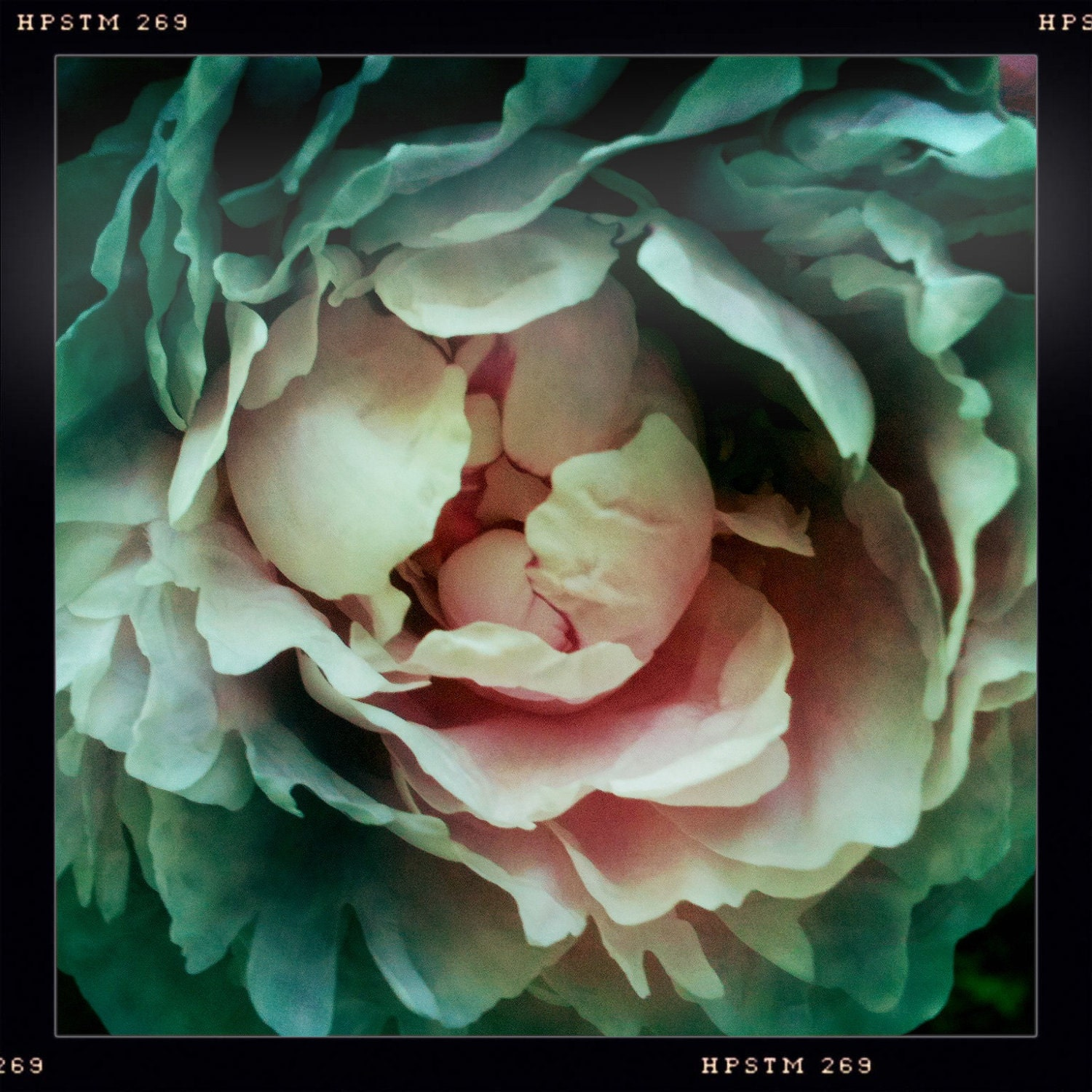 Peony Love....Hipstamatic Original Photo