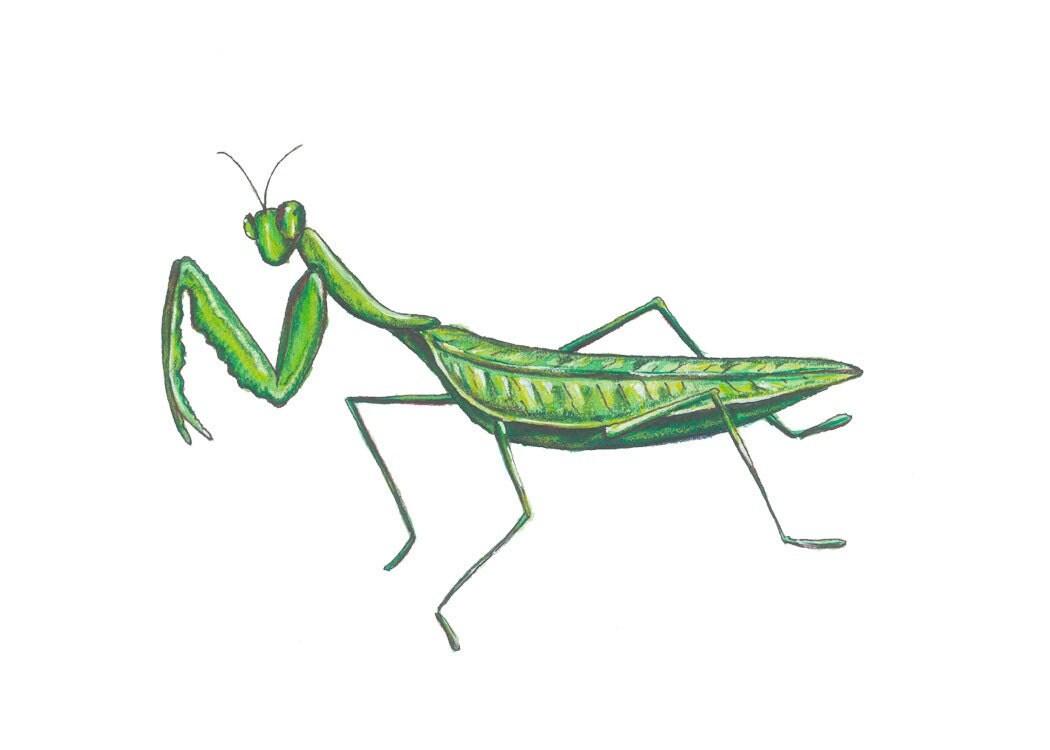 Praying Mantis print of original watercolor - jeniferpine
