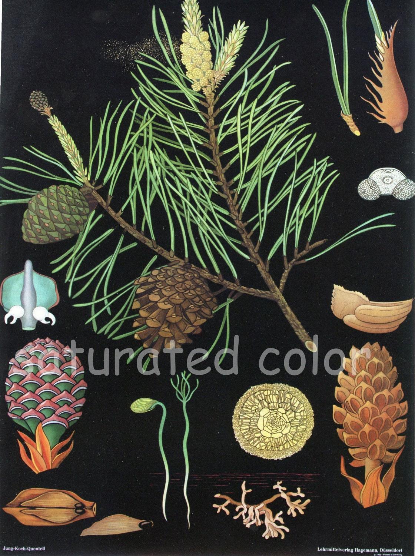 vintage pine tree  u0026 moss fern botanical chart by