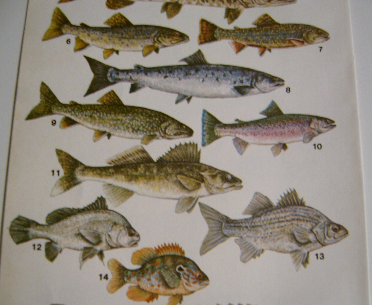 Florida saltwater fish identification chart for Florida saltwater fishing regulations quick chart