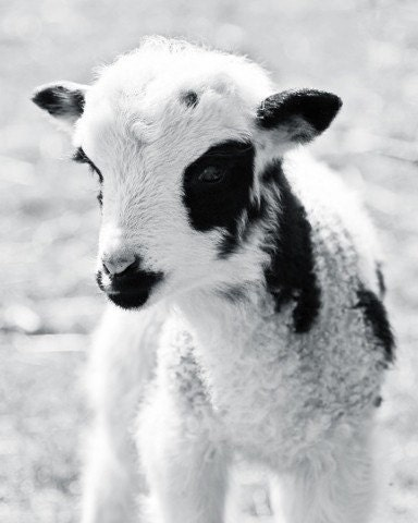 Portrait of a Lamb 8x10 Black and White Photograph