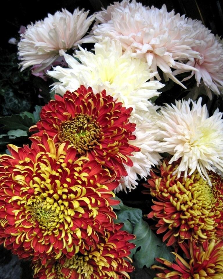Italian Chrysanthemums, Autumn Italian Flower Market, Lake Cumo. Italy, Luscious Rich Pom Pom Mums in Brilliant Autumn Hues