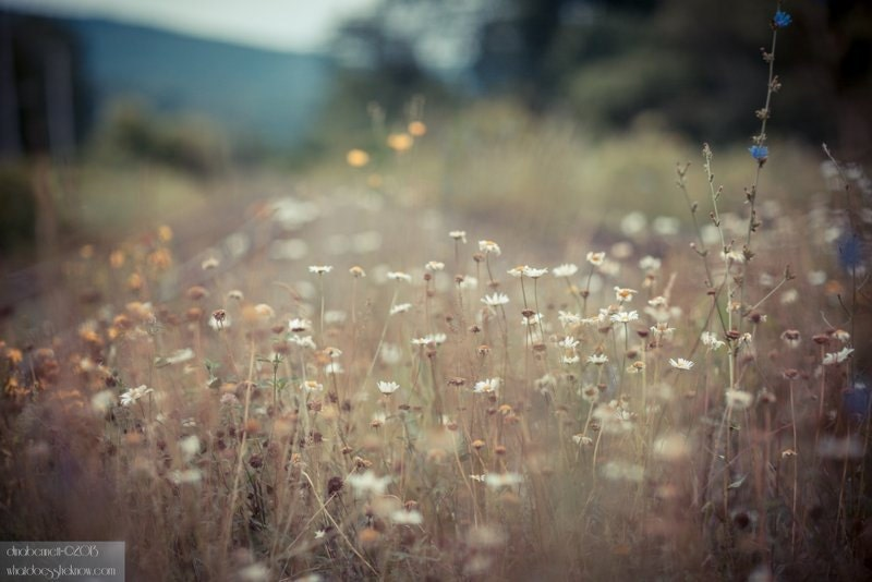 SALE! Nature photography, flowers, wild flowers, muted colors, daisies, soft, blurred, dreamy, country, rural, landscape, fine art, Flurries - LightReadingPhotos