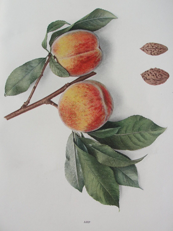 Peach Lithograph - 1917 - BarnshopAntiques