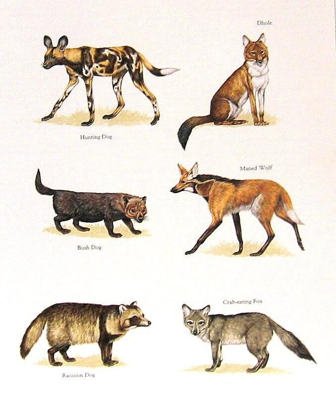 Maned Wolf Dog Hybrid Wwwimgarcadecom Online Image Arcade
