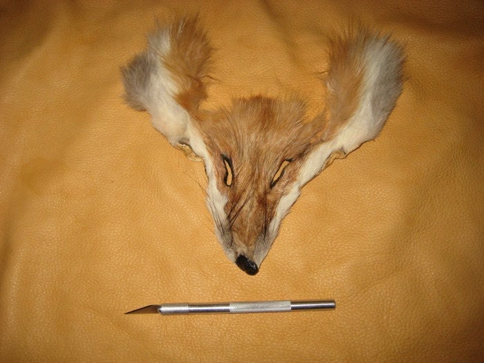red fox eyes. Partial red fox fur face for