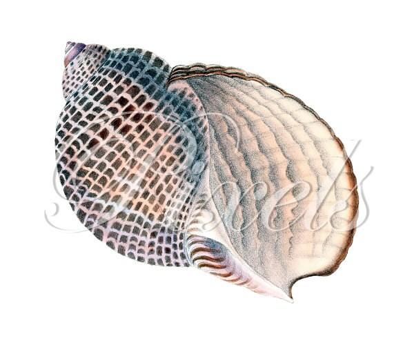 SEASHELL Instant Download Digital Downloads large digital image, beige seashell clipart illustration 268 - PixelsTransfer