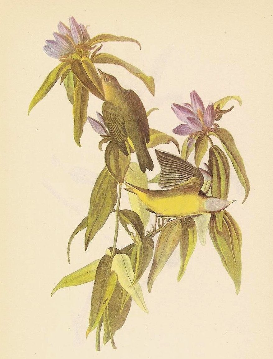 Connecticut WARBLER and Kentucky Warbler Birds of America by John Audubon Natural History Color Book Plate Print No. 249 and 250 from etsy.com