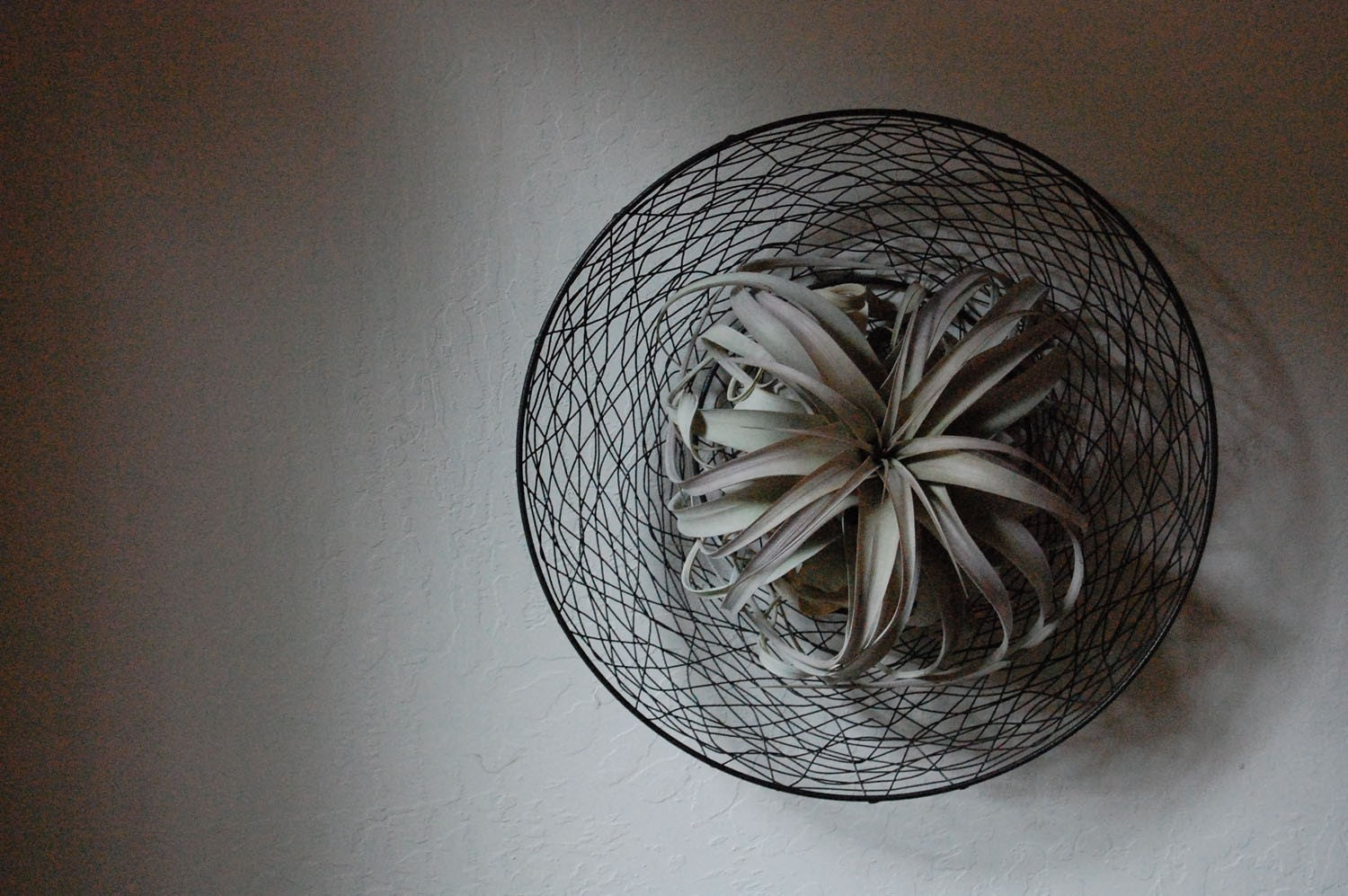Xerographica air plant living wall art by plantology on etsy for Air plant wall art