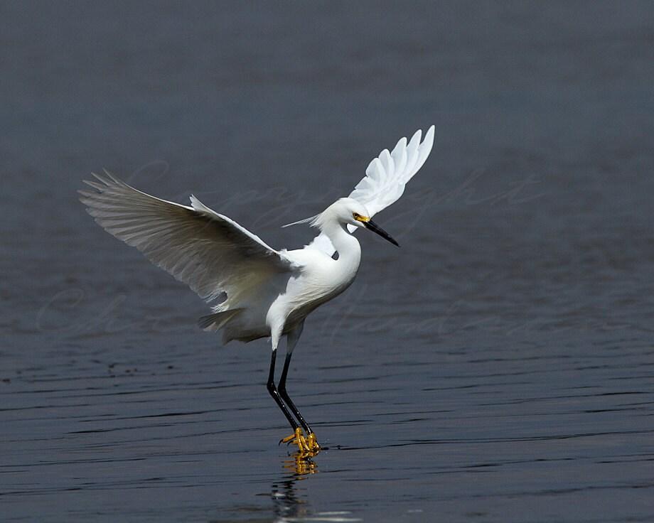Wildlife Photography -Birds in Flight - Snowy Egret - Bird art