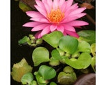 16X20 pink waterlily fine art photograph poster