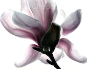 First Magnolia Bloom of the Season in our Garden - 11 x 14 Photo