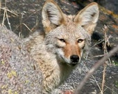 Coyote Photo 5x7 Fine Art Print - Coyote Camouflage