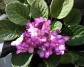 Grow  an African Violet Plant Kit - Halos Aglitter  - Fuchsia and Pink  Glittery Flowers