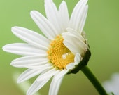 A Daisy - An 8x10 Photographic Art Print - Flower
