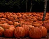 Field of Pumpkins - Fine Art Photography by EyeShutterToThink