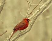 The reddest cardinal in the snow - a bird photograph - fine art print (8x8)