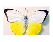 Real Butterfly Orange Emigrant Conservation Quality  633