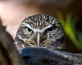 Photograph, Matted, 7 x 10 Burrowing Owl Gaze