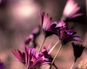 Purple photography: Rough winds do shake - spring gusts tug at violet gerbera - fine art nature print - 12x12 - sparksoffire