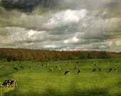 In the Company of Cows - 8x12 Fine Art Photograph - french country