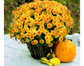 Mums With Gourds Impressionist Photo , 10 x10, Fine Art  Photograph