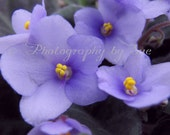 Photography Print 5x7 African Violet Art